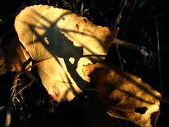 Fallen leaves. (ALEKSANDR RYBAK) Tags: листва опавшая сухая осень сезон погода природа солнечный свет тени макро крупный план foliage fallen dry autumn season weather nature solar shine shadows macro closeup