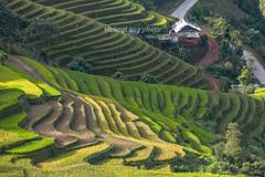 _J5K2286.0918.La Pán Tẩn.Mù Cang Chải.Yên Bái. (hoanglongphoto) Tags: asia asian vietnam northvietnam northwestvietnam landscape scenery vietnamlandscape vietnamscenery vietnamscene mucangchailandscape terraces terracedfields hillside house homes seasonharvest sunny sunlight morning sunnymorning canon canoneos1dsmarkiii canonef70200mmf28lisiiusm tâybắc yênbái mùcangchải lapántẩn phongcảnh ruộngbậcthang lúachín mùagặt mùcangchảimùagặt mùcangchảimùalúachín sườnđồi ngôinhà buổisáng nắng nắngsớm