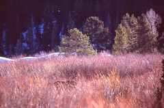 moose search (bpwilby) Tags: 100speed 35mm film filmfuji fuji fujivelvia100 fujifilm fujifilmvelvia100 grandtetonnationalpark jacksonhole nikon nikonf4 slide slidefilm tetons usa velvia wy winter wyoming e6 fujichrome positive
