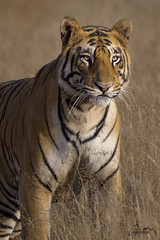 Bengal Tiger in the meadows (AnayTarnekar) Tags: wildlife wild tiger bengal india meadow grassland anaytarnekar