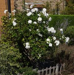 DSC_1914 (PeaTJay) Tags: nikond750 reading lowerearley berkshire macro micro closeups gardens outdoors nature flora fauna plants flowers rose roses rosebuds