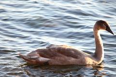 IMG_7758 (pekka.jarvelainen) Tags: joutsen swan vene auringonlasku sunset