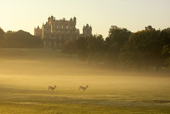 Through the Morning Mist (Tracey Whitefoot) Tags: 2018 tracey whitefoot nottingham nottinghamshire wollaton park october deer autumn morning fall mist misty light hall young running