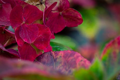 Autumn Hydrangea (Colormaniac too - Many thanks for your visits!) Tags: hydrangea autumn fall colorful garden perennial seasons pacificnorthwest olympicpeninsula macro closeup flower autumnflower netartll hss topazstudio flypapertextures