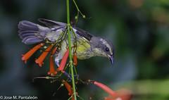 """3-No se me había ocurrido que su nombre común de """"PINCHITA"""" podía estar asociado al acto de """"PINCHAR"""" las flores para extraer su nectar como puede apreciarse en esta serie. Solo hoy se me ha encendido el bombillo sobre esta curiosidad (Cimarrón Mayor 16,000.000. VISITAS GRACIAS) Tags: ordenpasseriformes familiathraupidae génerocoereba pinchita pincha ciguirillin platanero bananaquit cigüita ciguítacomún mielero mielerocejiblanco mielerocomún plataneracomún reinita reinitacomún reinitamielera nombrecientificocoerevaflaveolabananivora nombreinglesbananaquit lugardecapturarrpsantodomingo repdom ave vogel bird oiseau paxaro fugl pássaro птица fågel uccello pták vták txori lintu aderyn éan madár cimarrónmayor panta pantaleón josémiguelpantaleón objetivo500mm telefoto700mm 7dmarkii canoneos canoneos7dmarkii naturaleza libertad libertee libre free fauna dominicano pájaro montañas dominicanrepublic quisqueya repúblicadominicana caribe républiquedominicaine caraïbes caraibi repubblicadominicana dominikanischerepublik karibik karaiby dominikana dominikarerrepublika karibe dominikanskerepublik caribien dominikanskerepublikk karibien"""
