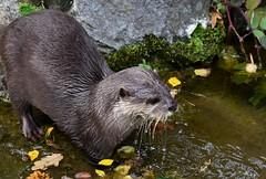 Asian Small Clawed Otter (Bury Gardener) Tags: banham banhamzoo zoo mammals wildlife animal animals 2018 nikond7200 nikon norfolk england eastanglia uk britain snaps