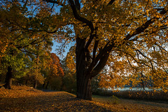 Autumn in Stockholm (fredrik.gattan) Tags: autumn leaves colors yellow red orange tree maple path walk morning sunny bench landscape park walkway road lake sea stallmästargården hagaparken haga solna stockholm sweden