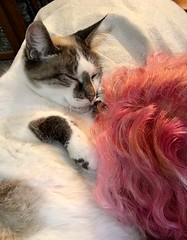 Holly and Me (BKHagar *Kim*) Tags: gatto gato feline bkhagar pet holly kitten kitty cat pink hair
