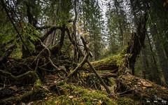 Urskog-3852 (jarud) Tags: 2018 norge norway notodden urskog