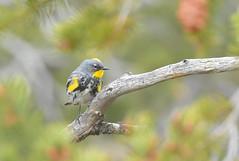 Yellow-rumped Warbler   (Audubon's) (jonathanirons28) Tags: audubonswarbler grandcanyonnationalpark coconinoco arizona april 2018 auwa nikon d500