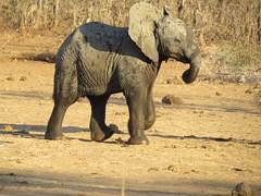 Better hurry up.....( baby elephant / baba olifant ) (Pixi2011) Tags: elephants wildlife krugernationalpark africa big5 ngc