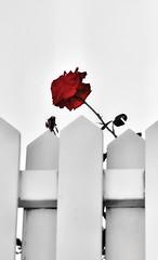 Las personas importantes en mi vida saben como soy. El resto que hablen lo que quieran.⚘⚘⚘ (elena m.d.) Tags: macromondays 7dwf monocromo colorselectivo rojo red monocromático rosal flor elea na nikon d5600 sigma sigma105 guadalajara
