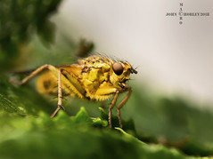Yellow dung fly (John Chorley) Tags: fly yellow yellowdungfly johnchorley nature wildlife outdoors 2018 macro macrophotography closeup close closeups