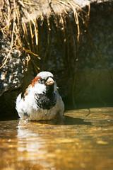 Sparrow (Cloudtail the Snow Leopard) Tags: spatz sperling hasusperling vogel tier animal bird passer domesticus house sparrow bath bathing zoo stadtgarten karlsruhe