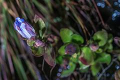 Gentiana catesbaei (Catesby's Gentian) (jimf_29605) Tags: gentianacatesbaei catesbysgentian boggarden greenville southcarolina wildflowers sony a7rii 90mm