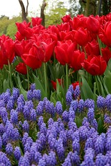 Red and Purple (Jehan Al-Maghamsi) Tags: april spring turkey park istanbul lavander leaves green red tulips flower