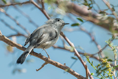 Black-tailed Gnatcatcher (Polioptila melanura) (byjcb) Tags: gnatcatcher birds henderson nevada unitedstates us