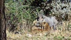 DSC_5478 (miwin) Tags: leopard boar tanzania safari serengeti