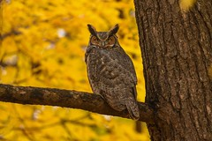 Great Horned Owl (Rob E Twoo) Tags: