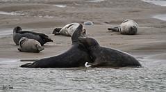 Jeux de phoques gris en Baie d'Authie (Berck-sur-mer). Sélection groupe « in explore « (jean-lucfoucret) Tags: nikond500 nikon d500 nikkor nikkor200500f56 200500f56 mer plage jeux phocidae phoques phoque sable nature picardie somme berck animalia mammifère mammalia carnivore sea aquatique pasdecalais baie authie grypus gris grey seal dichtung sello sigillo beach