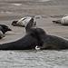 Jeux de phoques gris en Baie d'Authie (Berck-sur-mer). (jean-lucfoucret) Tags: nikond500 nikon d500 nikkor nikkor200500f56 200500f56 mer plage jeux phocidae phoques phoque sable nature picardie somme berck animalia mammifère mammalia carnivore sea aquatique pasdecalais baie authie grypus gris grey seal dichtung sello sigillo beach