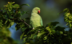 a Rose Ringed Parakeet : Angry Bird (Franck Zumella) Tags: perruche perroquet collier vert rouge parakeet rose ringed 앵무새 bird oiseau wildlife nature green yellow jaune animal red food summer eat beak close closeup portrait a7s 150600 tamron angry unhappy happy fache content angrybird