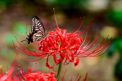 Asian swallowtail on Red  spider lily (Lycoris radiata) : ヒガンバナとナミアゲハ (Dakiny) Tags: 2018 autumn september kanagawa yokohama kohoku nippa saihoji temple garden outdoor nature creature plant flower lycoris spiderlily redspiderlily clusteramaryllis lycorisradiata animal insect bug butterfly swallowtailbutterfly asianswallowtail macro bokeh nikon d750 sigma apo 70200mm f28 ex hsm apo70200mmf28dexhsm sigmaapo70200mmf28dexhsm