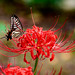 Asian swallowtail on Red  spider lily (Lycoris radiata) : ヒガンバナとナミアゲハ