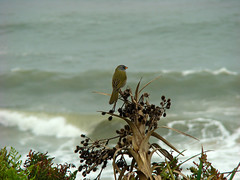 Praia da Cal (Gijlmar) Tags: brasil brazil brasilien brésil brasile brasilia riograndedosul américadosul américadelsur southamerica amériquedusud praia paya beach bird pássaro biology