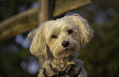My best buddy Boo... .. (loaderqsf) Tags: tamronsp45mmf18divcusd nikond7100 portrait dogs animals