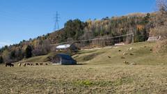 Animaux - Baie Saint-Paul, Charlevoix, P.Q., Canada - 8113 (rivai56) Tags: animaux ferme baiesaintpaul charlevoix pq canada avec ses farm with his animals