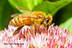 IMG_9947 (nitinpatel2) Tags: bee macro nitin nature nitinpatel