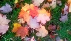 Fallen Maple leaves! (Maenette1) Tags: fallen maple leaves yard menominee uppermichigan flicker365 allthingsmichigan absolutemichigan projectmichigan autumninmichigan