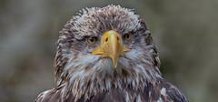 Bald eagle (pe_ha45) Tags: haliaeetusleucocephalus weisskopfseeadler baldeagle falknerei fauconnerie falconry greifvogel raptor rapace pyargueàtêteblanche àguiaamericana aquiladimaretestbianca