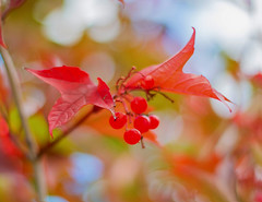 Berry Bokeh (~DGH~) Tags: 2018 50mm alberta canada edmonton pentaxk50 september autumn coloursoffall fall leaves pending smcpentaxda50mm trees windy ~dgh~ berries bokeh bokehwednesday