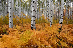 Fernominal Foliage (pdxsafariguy) Tags: forest aspen nature autumn ferns fall landscape tree plant yellow trees lush aspens grove trunk colorado foliage leaf pattern orange fern usa bark mcclurepass tomschwabel
