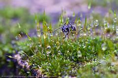 WATER WORLD (GOPAN G. NAIR [ GOPS Creativ ]) Tags: gopsorg gopangnair gops gopsphotography gopan photography ant moss bryophyta green drop