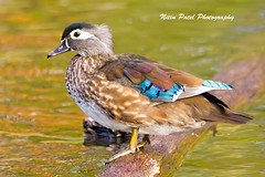 IMG_7919 (nitinpatel2) Tags: bird nature nitinpatel