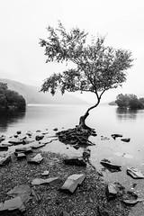 That lone tree (outonalymm) Tags: llanberis llynpadarn northwales tree wales lake lonetree morning rain water unitedkingdom gb mono monochrome blackandwhite bnw