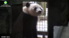 2018_10-11b (gkoo19681) Tags: beibei chubbycubby fuzzywuzzy adorableears travelchute patientlywaiting treattime searching sniffing beinggood toocute beingadorable toosmart meltinghearts precious ccncby nationalzoo