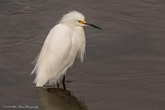 Snowy Egret © (Rodolfo Quinio) Tags: snowyegret nikond500 tamron150600mm bayfrontpark sanmateocounty millbraeca sanfranciscobay waterbird wader wadingbird aquaticbird 142