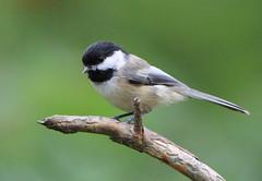 Mésange (Marie-Helene Levesque) Tags: oiseau abitibi valdor côtede100pieds loft mesange mariehélène mariehelene