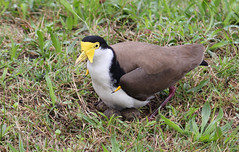 Masked Lapwing 020 (DMT@YLOR) Tags: eggs nesting spring nature wildlife maskedlapwing lapwing spurwingplover spurs redbankplains ipswich queensland australia aussie mother ground yellow white black green rain wet