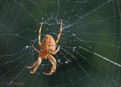 Waiting.... (♥ Annieta ) Tags: annieta oktober 2018 sony a6000 nederland netherlands garden jardin tuin spin spider insect insekt bug allrightsreserved usingthispicturewithoutpermissionisillegal