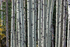 Aspen Coppice (jim peterson2012) Tags: canadianrockies icefieldparkway aspen coppice