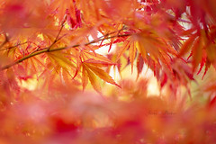 Autumn Fire (Jacky Parker Photography) Tags: autumn2018 autumncolours autumn fallcolors japanesemapleleaves japanesemaple acerpalmatum leaves autumnleaves fall2018 foliage closeup vibrant vtality freshness beautyinnature brightlylit horizontalformat outdoors nopeople furzeygardens newforestnationalpark nikond750 uk