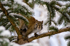 """""""That's close enough ... """" (Canadapt) Tags: squirrel pine tree branch portrait snow keefer canadapt"""
