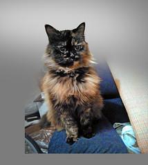 Mochaccino darling xxx (jasoux) Tags: cat pet portrait pets
