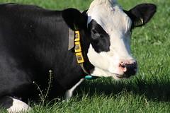 Delta Dubs Altaequire (excellentzebu1050) Tags: dairycows livestock animal animalportraits cattle cow closeup field grass farm farmer coth5 sunrays5