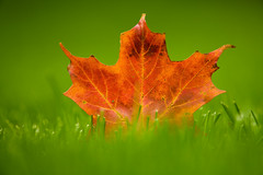 Orange Autumn (Eric Tischler) Tags: flickrfriday orange leave fall autumn green grass macro